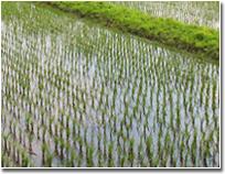 北アルプスの雪解け水「自然の恵み」が育んだ、おいしいもち米(新大正糯)です。